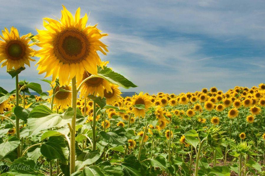 17. beautiful sunflowers by Cristina Gascon