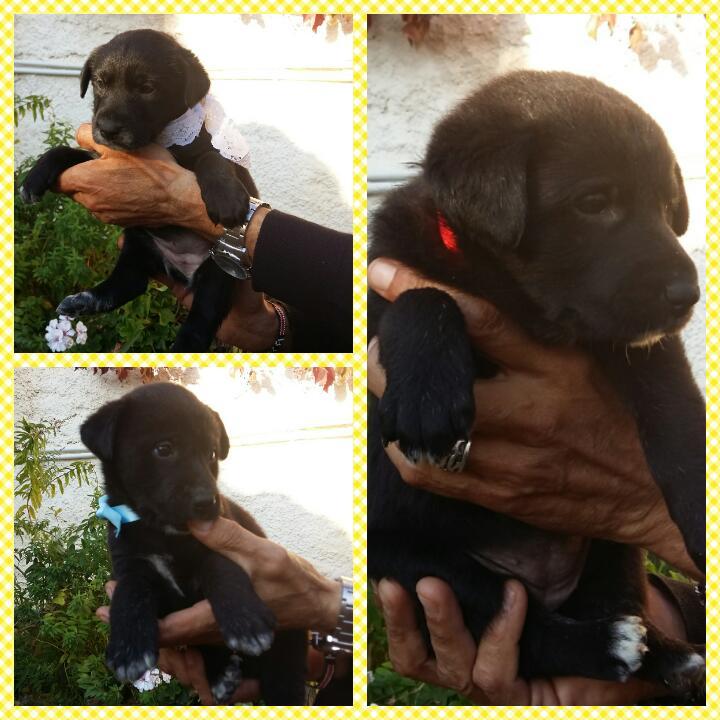 Adotta Un Cane A Siracusa Cuccioli Incrocio Labrador Nero In Regalo