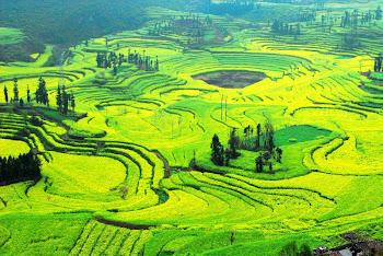 luo pin flower field