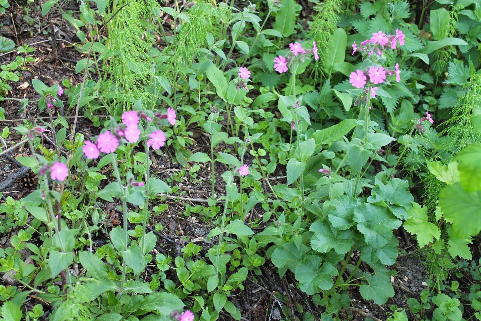 Kukkalähetykset pihapuiden taimet touko-syyskuulla: Puna-ailakki hevoskastanja kirsikka piparjuuri