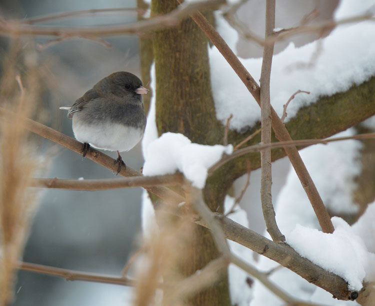 A male Dark-eyed Junco sitting in a young mulberry tree as snow falls softly.