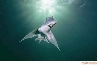 tubarão Callorhinchus milii