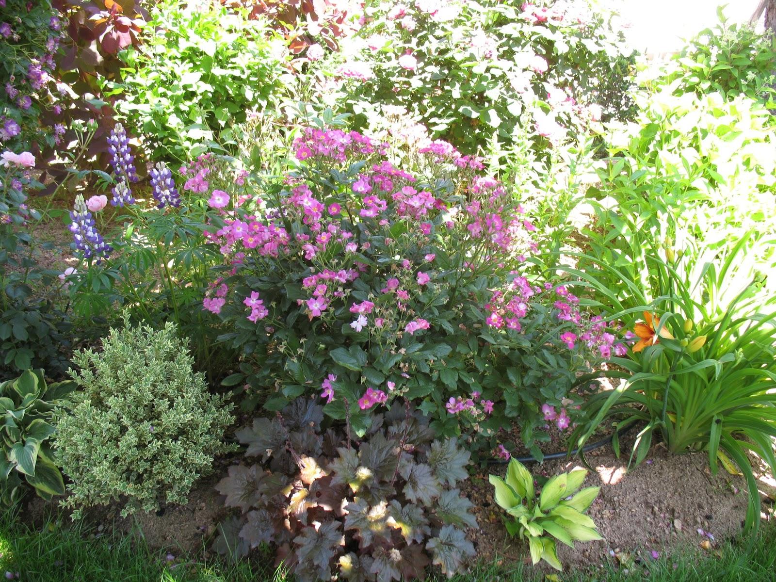 roses du jardin ch neland rosiers polyanthas. Black Bedroom Furniture Sets. Home Design Ideas
