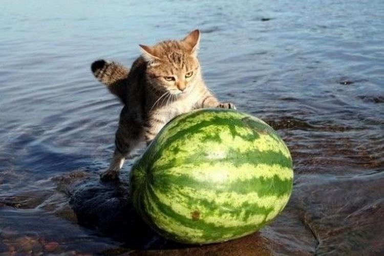 Кот и арбуз - фото