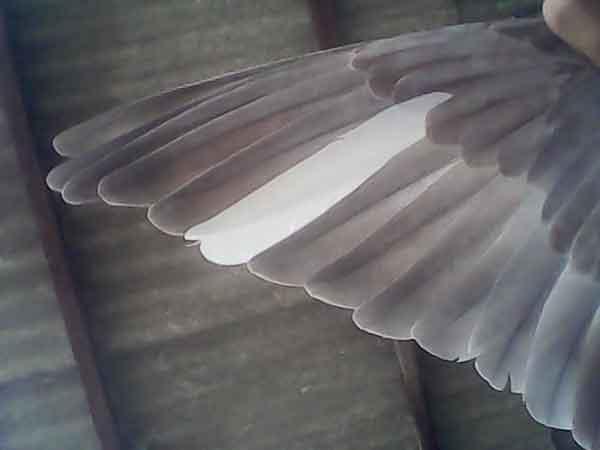 Sayap - jenis burung merpati tinggian yang bagus