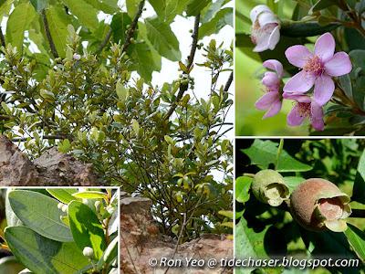 Kemunting (Rhodomyrtus tomentosa)