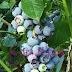 7 manfaat buah blueberry yang luar biasa