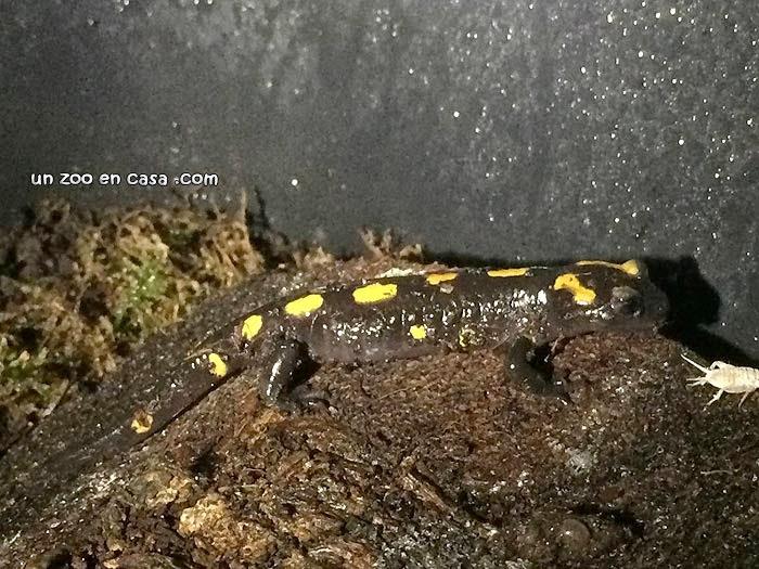 Salamandra algira tingitana atacando a un microgrillo