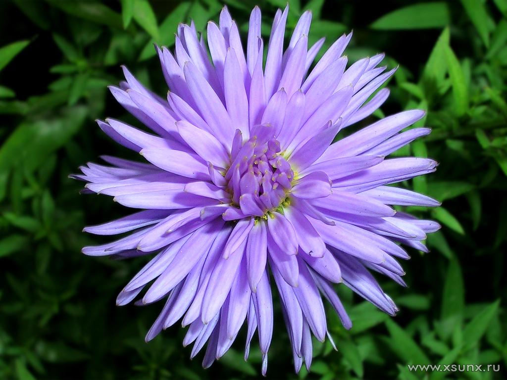 Однолетние цветы теряют декоративность и в это же время во всем великолепии цветут хризантемы и однолетние астры...