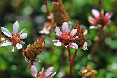 Micranthes tolmiei (Tolmie's or Alpine Saxifrage)