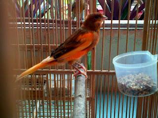 Burung Kenari - Solusi Penangkaran Burung Kenari -  Kode Ring Kenari Import Pada Negara Belanda