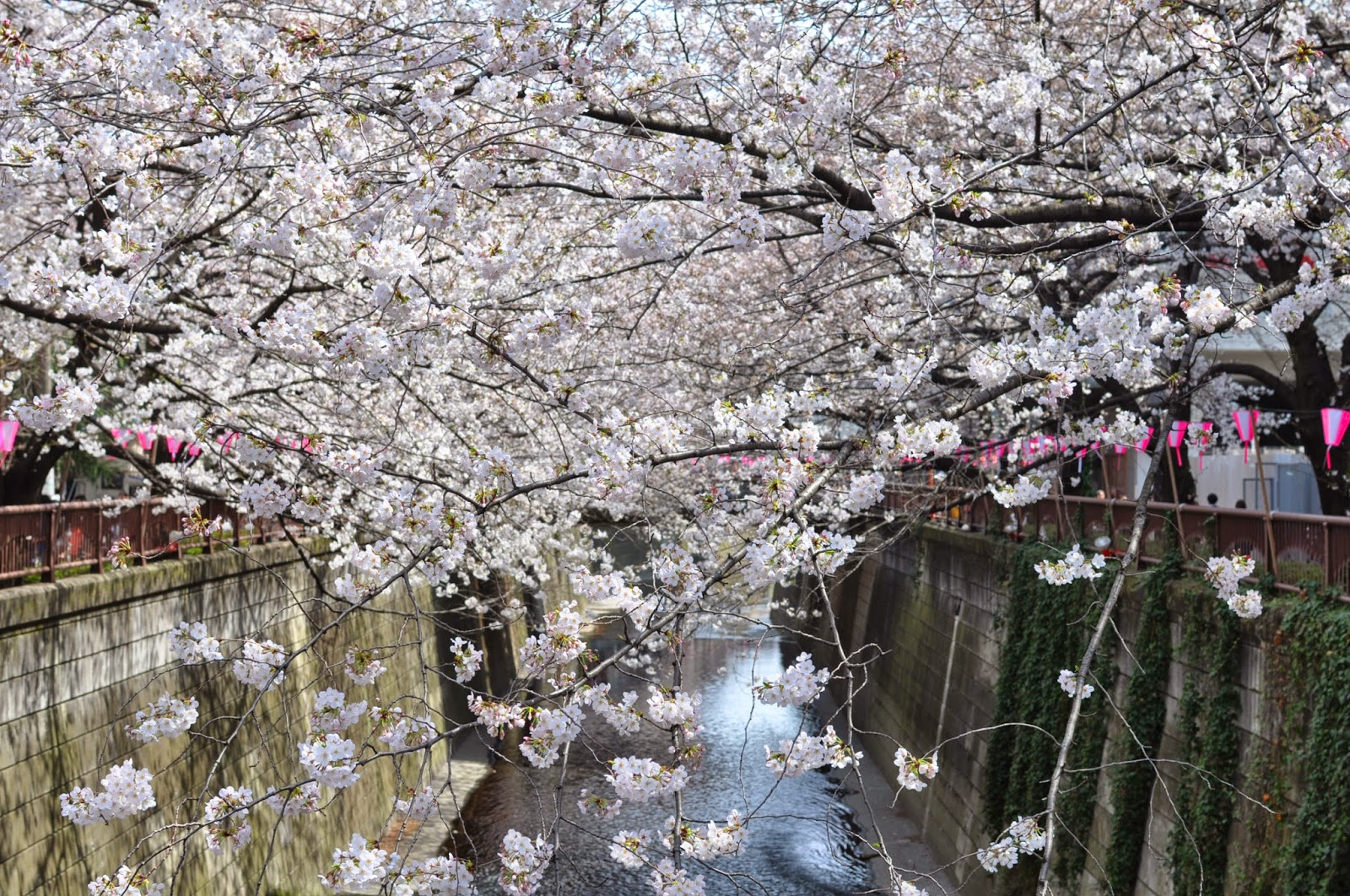 Cherry blossom season over bridge tokyo japan