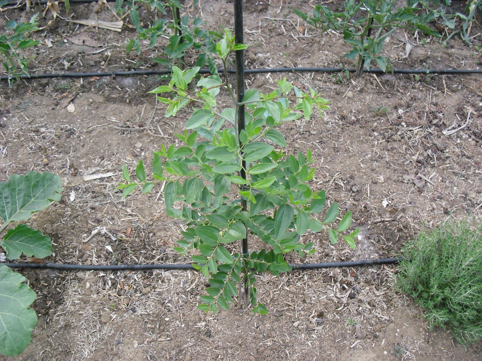 El huerto del lopez un nuevo arbol frutal en mi huerto for Arboles perennes de crecimiento rapido