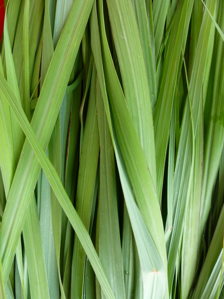 the effectivity of lemon grass cymbopogon Abstract: currently, two neuraminidase (na) inhibitors, oseltamivir and zanamivir, which must be administrated twice daily for 5 days for maximum therapeutic effect, are licensed for the treatment of influenza.