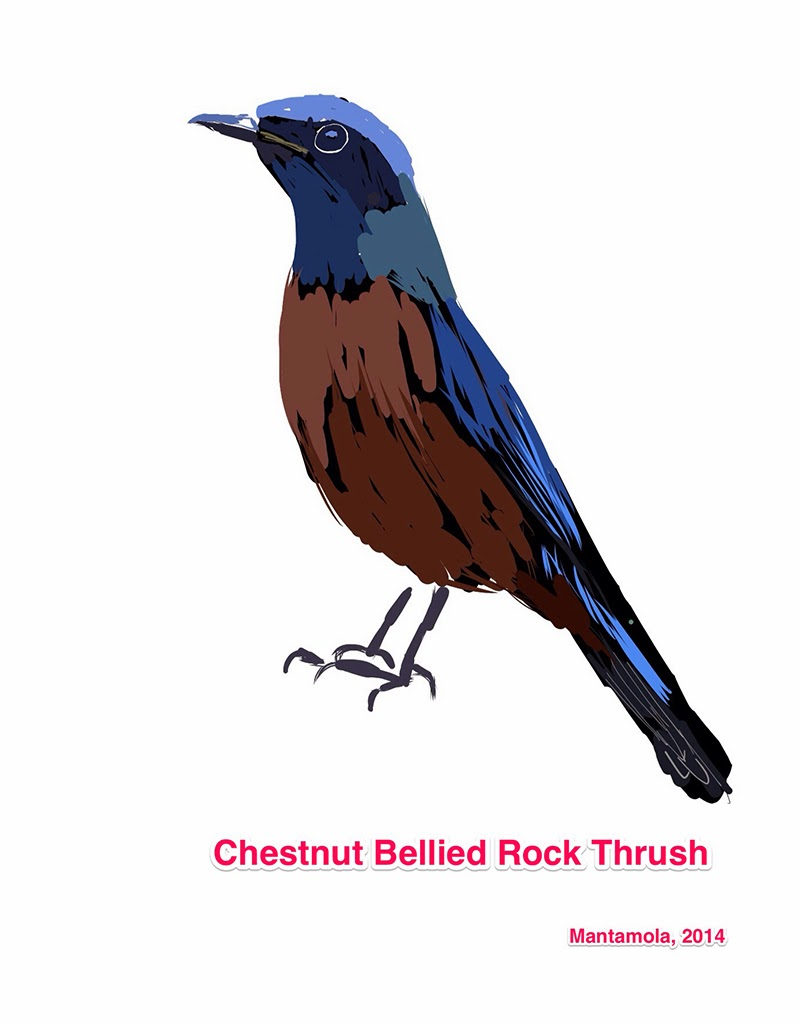 Chestnut Bellied Thrush