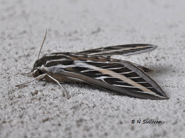 White-lined Sphinx Moth (Hyles lineata)