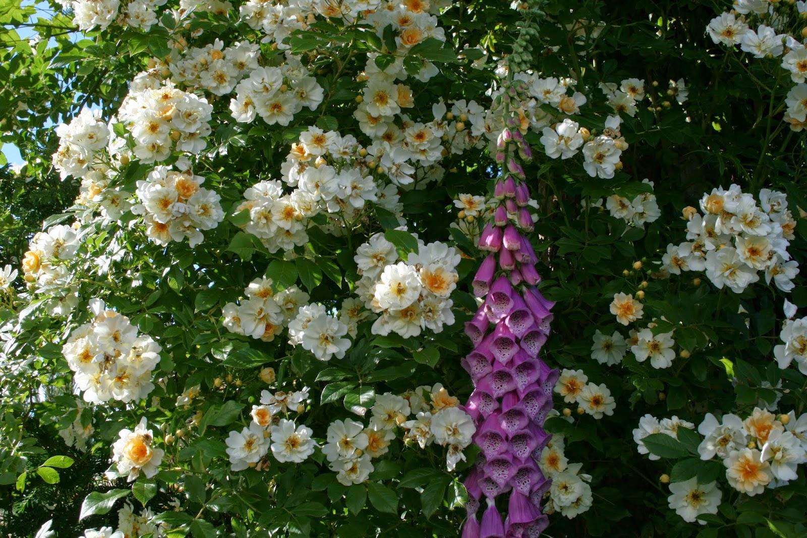 Honungsros Rosa henenae 'Hybrida'