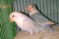 Sepasang Lovebird Pastel Putih