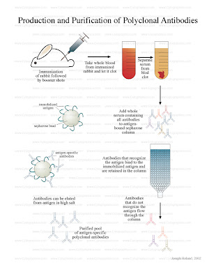 purification and characterization of antibody
