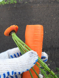 vkusniogorod, обрезка морковки