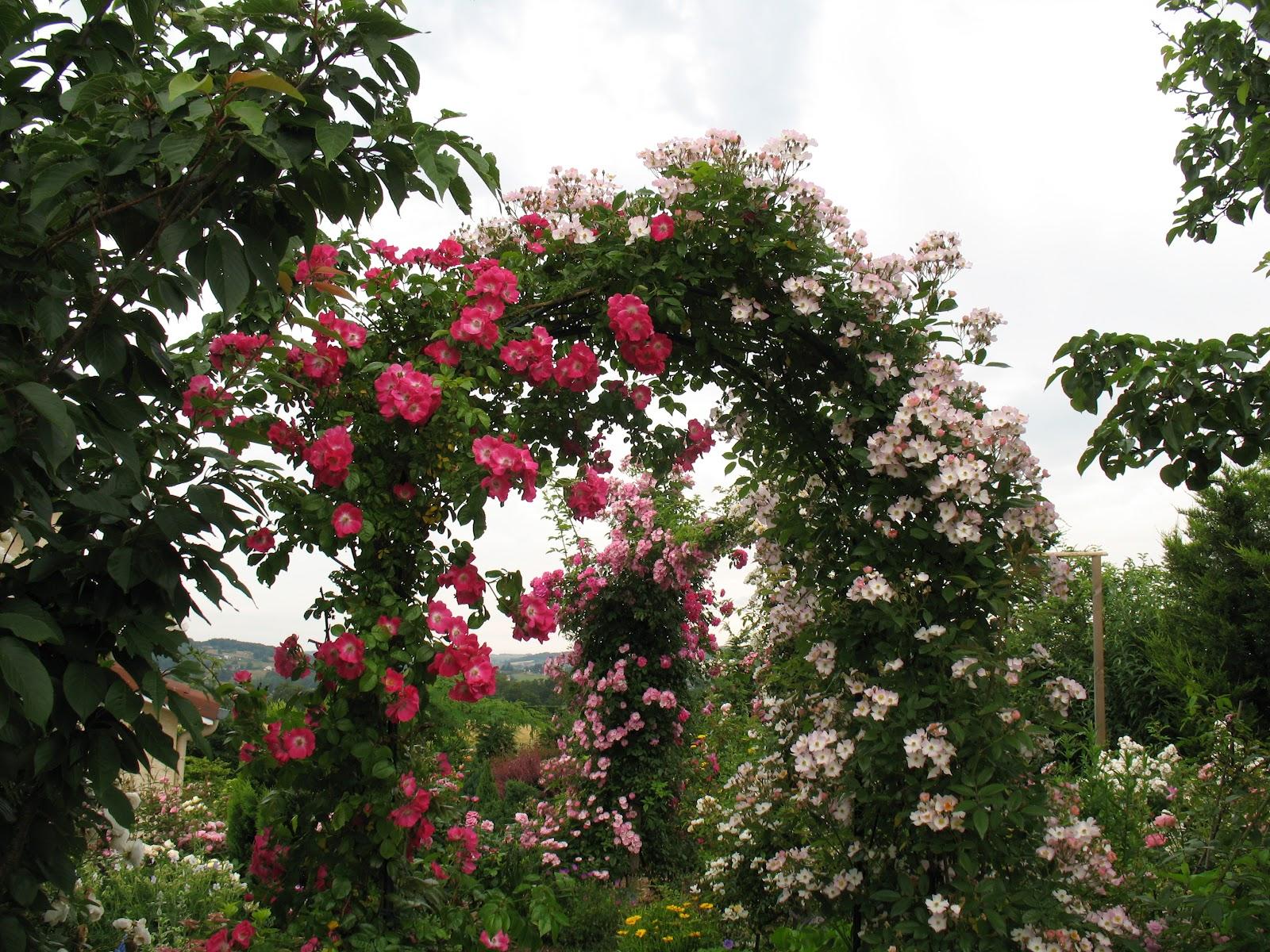 Roses du jardin ch neland rosier am rican pillar - Arche pour rosier grimpant ...