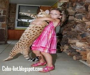 kucing terbesar
