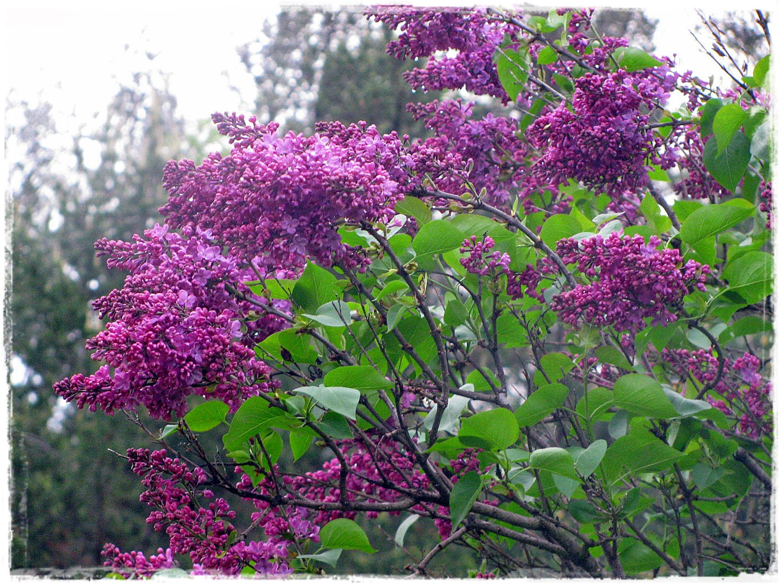 Applestone Cottage: It's a lilac festival at my house!