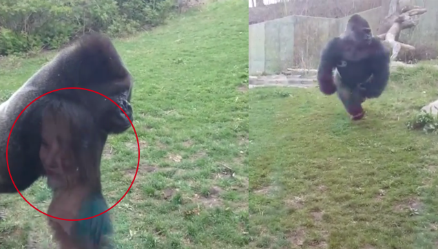 silverback gorilla provokes by a girl broke safety glass