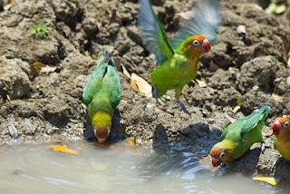 "Dalam habitat kehidupan liar nya, burung lovebird hidup secara berkoloni dan bersarang di tempat-tempat yang tidak terduga. Mereka tidak terlalu pilih-pilih untuk mencari tempat bersarang. Sarang burung lovebird dapat ditemukan di celah-celah pohon kaktus, di bawah atap gubuk, di langit-langit bekas kandang ayam, di bawah palung tempat minum hewan ternak, dan tempat-tempat lain yang nampak muskil. Khusus sarang burung lovebird jenis peach-faced sering ditemukan di ceruk-ceruk bawah pancuran air, lubang-lubang kayu, celah-celah kayu rumah kosong dan bangunan-bangunan lain. Burung Lovebird pun sering menggunakan bekas-bekas sarang burung lain. Sebagian besar lovebird paling suka bersarang di lubang-lubang pohon Baobab (pohon besar dan tinggi di benua Afrika) dan pohon-pohon jenis lain.    Arsitek yang paling ulung diantara jenis lovebird adalah jenis lovebird fischer dan personata. Kecakapan dua jenis lovebird ini dalam menyusun sarang hanya dapat dikalahkan oleh kecakapan burung Quaker dan Monk Parkit (myopsitta monachus) dari Amerika Selatan.  Penyebaran burung love bird : Lovebird ""muka merah"" (Agapornis Pullaria). Penyebaran love bird muka merah: Afrika Tengah dan Afrika Barat Tengah Lovebird ""sayap hitam"" (Agapornis teranta). Penyebaran lovebird abisinia : Dataran tinggi Ethiopia Lovebird ""kerah hitam"" (agapornis Swinderniana) penyebaran lovebird ""kerah hitam"": Afrika Barat dan Afrika Tengah Lovebird ""muka salem"" (Agapornis roseicollis) penyebaran lovebird abisinia : Afrika Barat Daya. Lovebird kaca mata fischer (Agapornis fischer) Penyebaran love bird kaca mata fischeries: Tanzania Lovebird kacamata topeng (agapornis personata) Lovebird kacamata nyasa (Agapornis lilianae) Penyebaran love bird kaca mata nyasa : Tanzania, Zanobar bagian utara, Malawi bagian timur, dan Moaambik bagian barat laut. Lovebird kacamata pipi hitam (Agapornis nigrigenis). Penyebaran lovebird kaca mata pipi hitam; Zambia bagian barat daya dan Zimbabwe bagian barat laut."