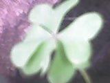 trebol cinco hojas