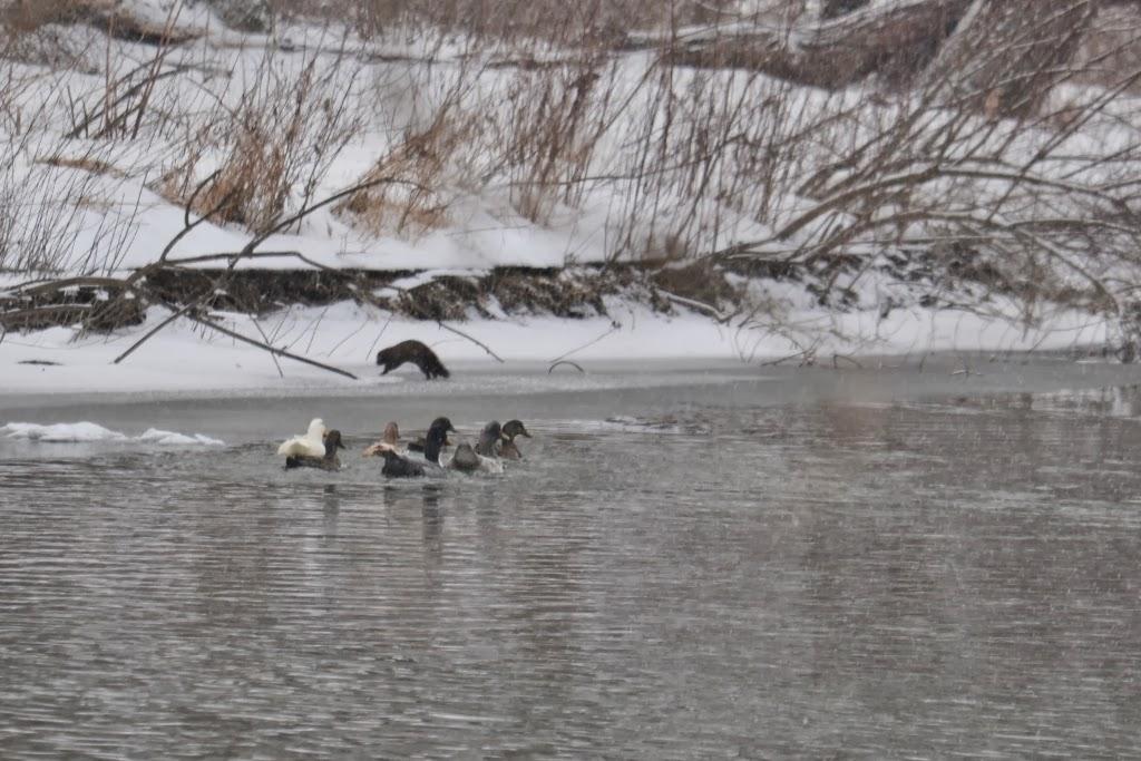 ducks chasing mink