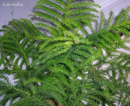 Gardening Grannys Gardening Pages How to Grow a Norfolk Island Pine