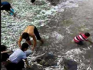 Ikan Tamban Naik ke Darat di Kampung Tambisan Darat