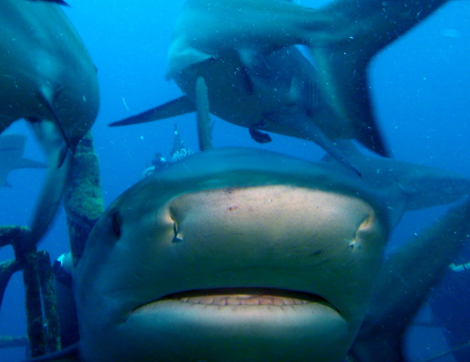 Displaying 20> Images For - Gray Reef Shark Eating...