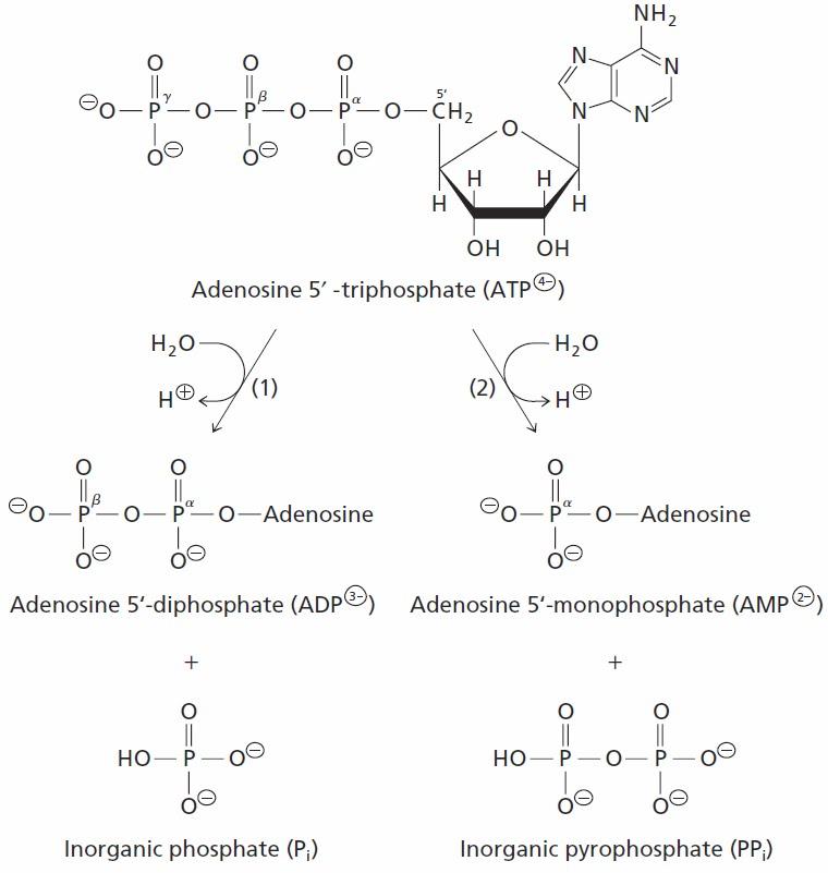 Sandwalk Better Biochemistry The Free Energy Of Atp Hydrolysis