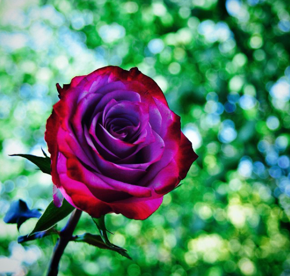 Как Сделать Радужные Розы!