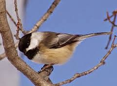 Ursula Carrie's Chickadees and Friends on Ustream
