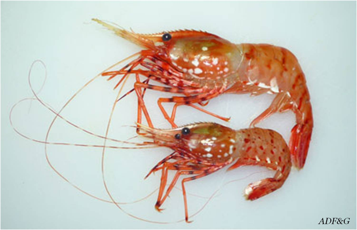 """Snow Crab Love: Giving a whole new meaning to """"shrimp"""""""