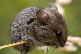 Field Mice