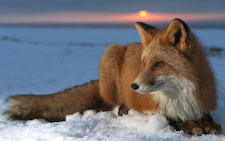 Red Foxes Wallpapers