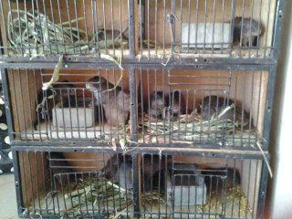 grasscutter breeding families