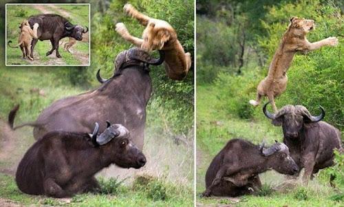 Como os búfalos se defendem de um ataque de leões