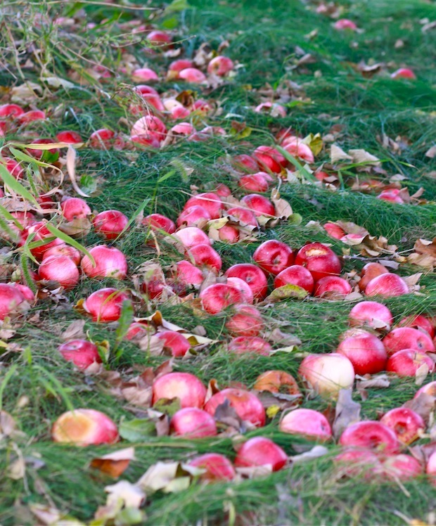 What do orchards do with all the fallen apples?