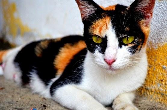 kucing tiga warna mitos