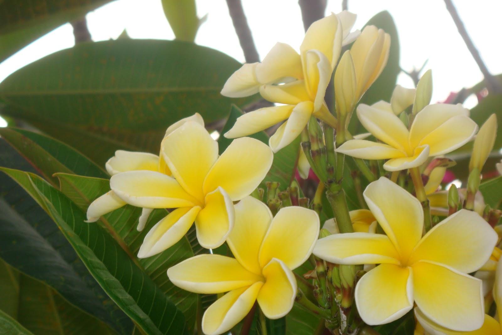 how to make frangipani grow faster
