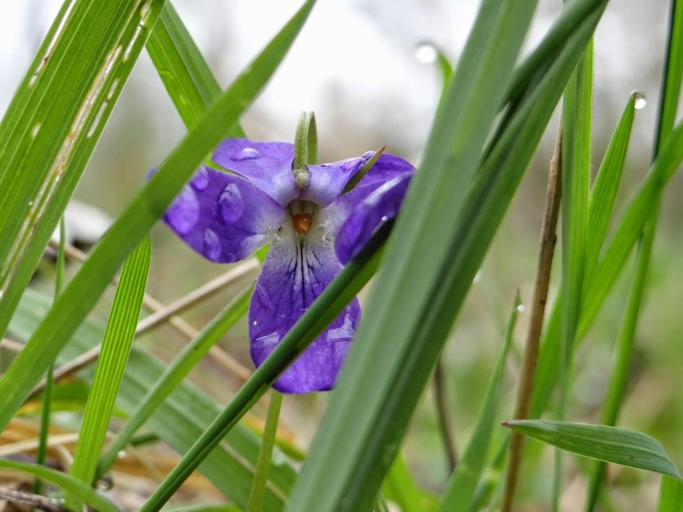 La naissance, timide, du printemps (ph. S.Rouja)