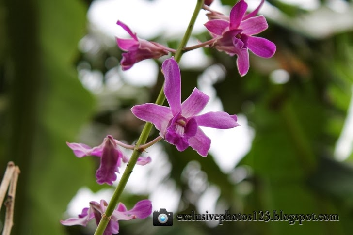 Anggrek Cantik, beautiful orchids