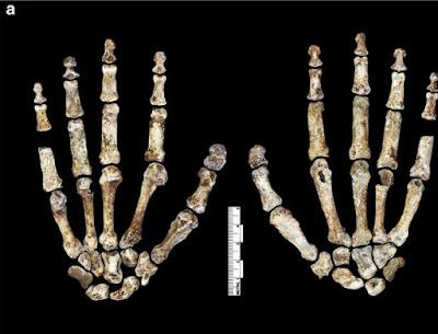 Ancestral de humanos era bípede, mas ainda se locomovia em árvores