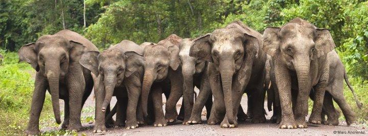 Are Asian Elephants Endangered