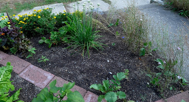 Edible Landscaping: replacing spent annual batchelor's Buttons